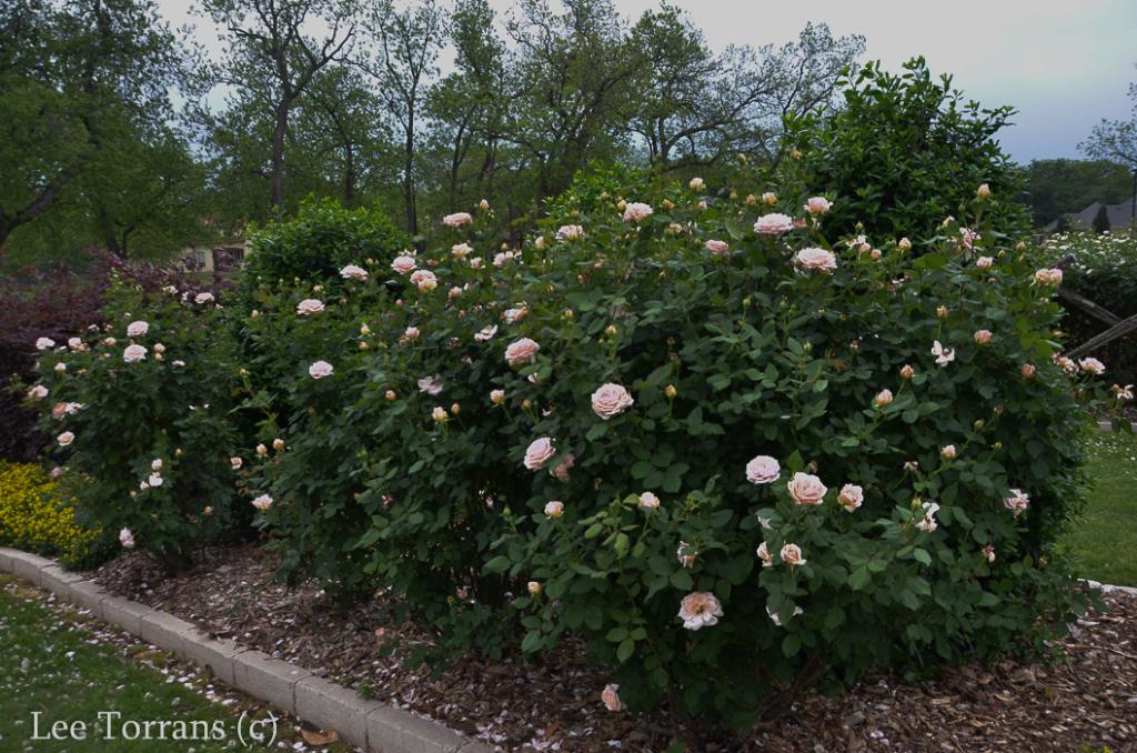 Quietness_Pale_Pink_Shrub_Rose_Texas_Lee_Ann_Torrans-4