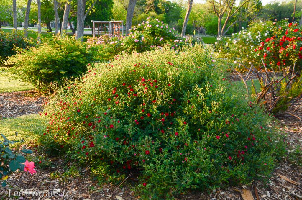 Red_Cascade_Climbing_Miniature_Rose_Lee_Ann_Torrans-2