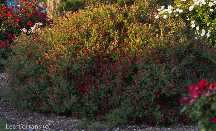 Red_Cascade_Miniature+Rose_Texas_Lee_Ann_Torrans-2