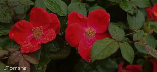 Red_Dream_Shrub_Rose_Texas_Lee_Ann_Torrans-2