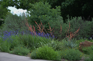 Red Yucca and Mealy Blue Sage Blooming Mid-May Texas Cacti and Perennials