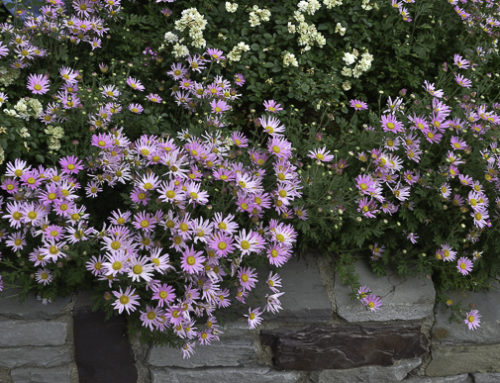 Purple Daisies – Osteospermum 'Purple Mountain' and other Purple Perennials