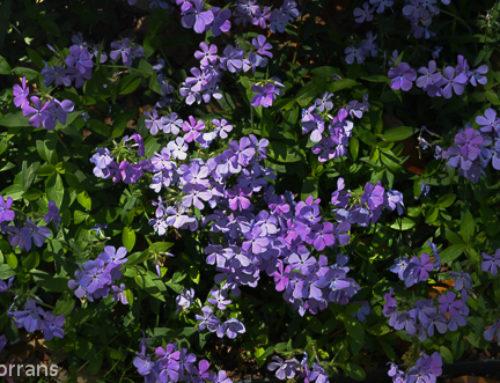 Spring Perennial Purple Phlox
