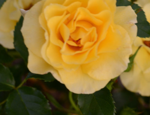 Sun Flare Floribunda Yellow Rose for Texas