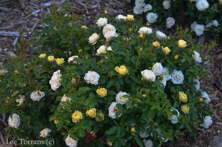 Sunny-Knockout_Rose_Dallas_Texas_Lee_Ann_Torrans