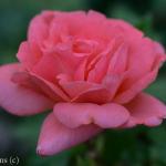 Sweet Fragrance Shrub Rose