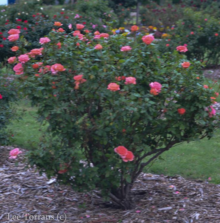 Sweet Fragrance Texas Shrub Rose