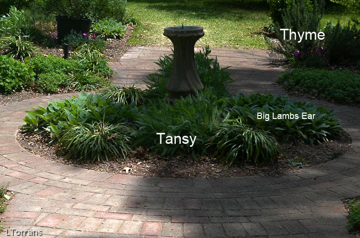 Tansy-Sage-Thyme-Garden