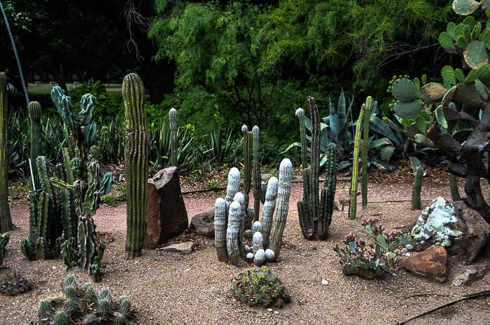 Texas Cactus Fort Worth Botanical Garden