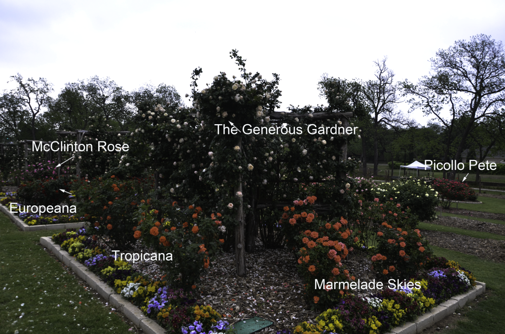 The_Generous_Gardner_Climbing_Rose_Garden_Dallas_Texas_Lee_Ann_Torrans