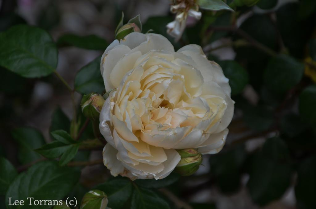 The Generous Gardner Shrub Climbing Rose for Texas April Blooms