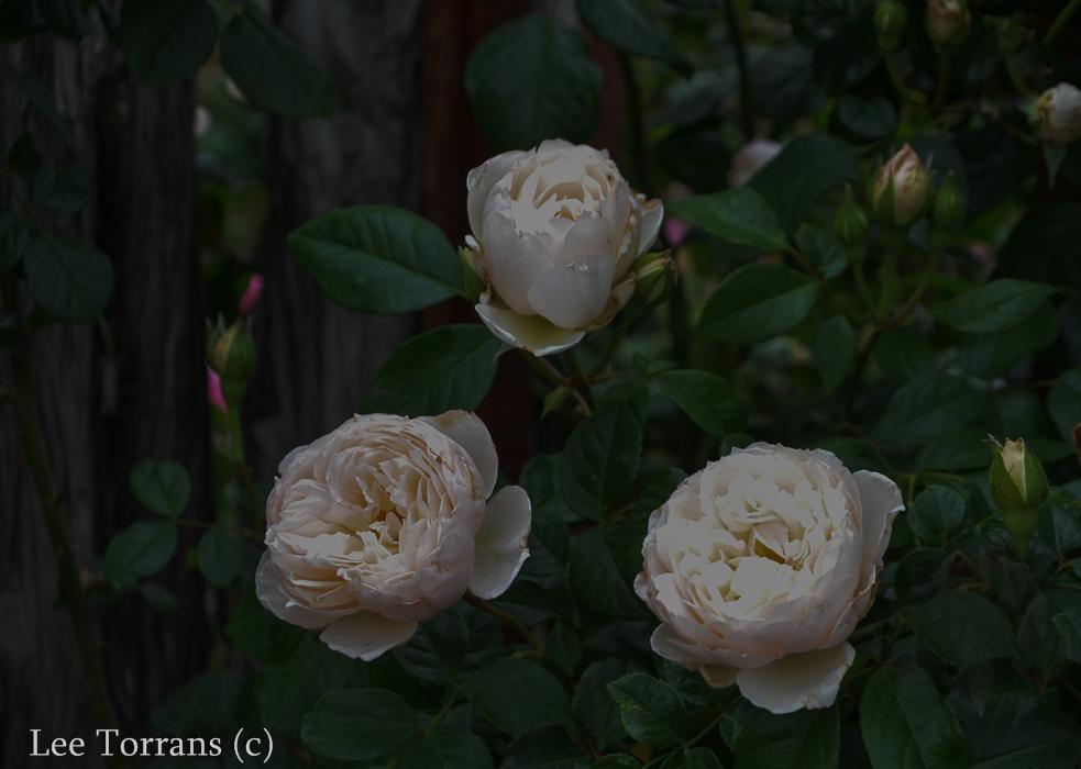 The_Generous_Gardner_Climbing_Rose_Texas_Lee_Ann_Torrans-5