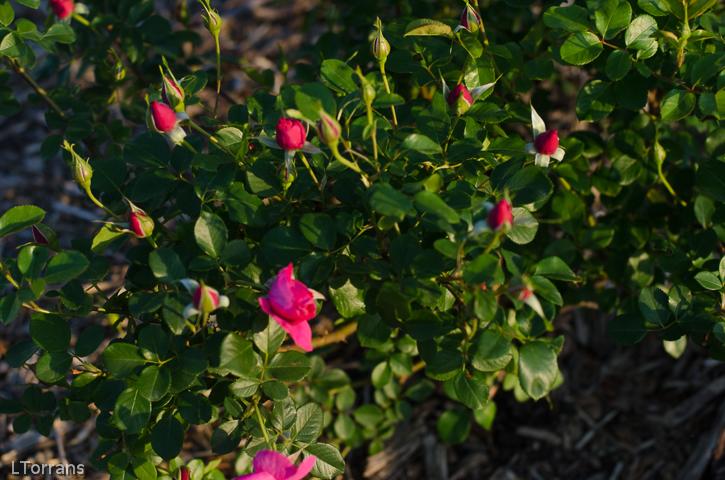 Thomas Affleck Shrub Rose for Texas