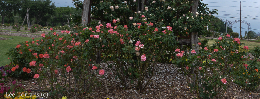 Touch_of_Class_Hybrid_Tea_Rose_Texas_Lee_Ann_Torrans