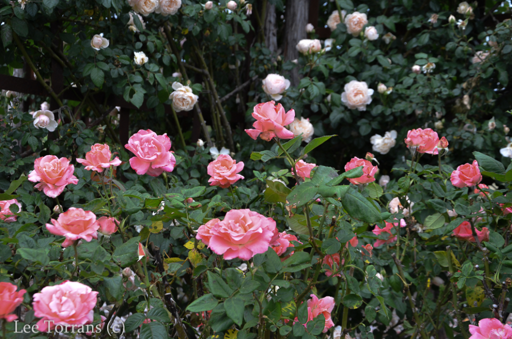 Touch of Class Hybrid Tea Rose