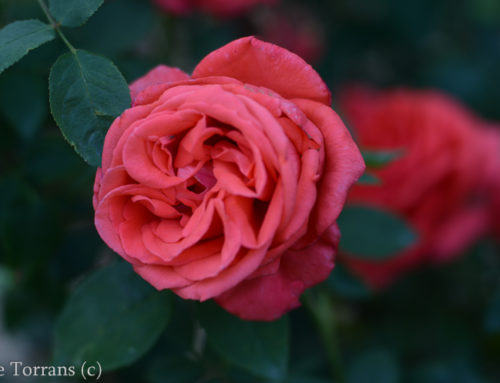 Tropicana – Peach Colored Hybrid Tea