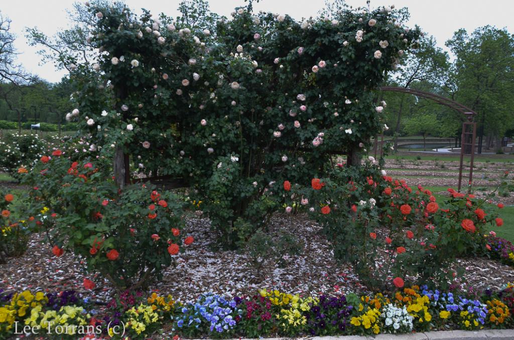 Tropicana_Orange_Rose_Texas_Lee_Ann_Torrans
