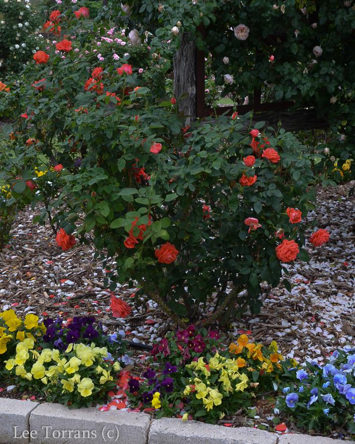 Tropicana_Orange_Rose_Texas_Lee_Ann_Torrans-2