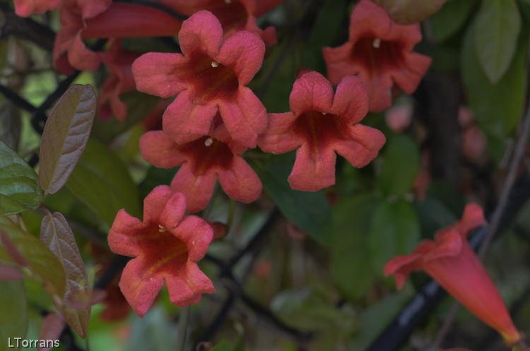 Trumpet_Vine_Spring_Bloomer_Dallas_April