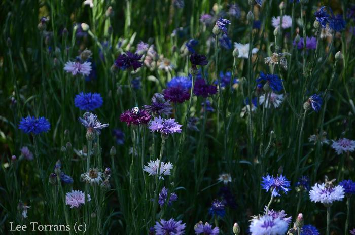 Wildflowers+Poppies_Texas_Lee_Ann_Torrans