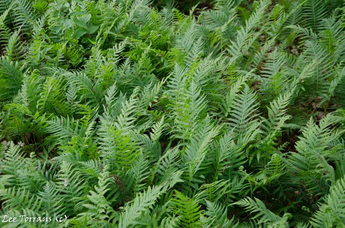 Ferns in texas lee ann torrans gardening for Perennial wood