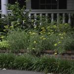 Yellow Artemesia - Dallas Landscaping and Gardening Lee Ann Torrans
