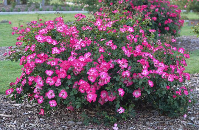 Shrub rose, pink and white rose, floribunda rose