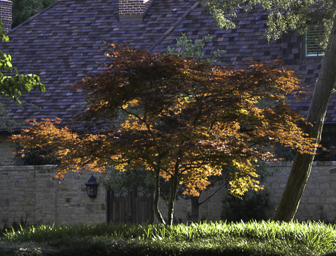 Golden Ember Japanese Maple