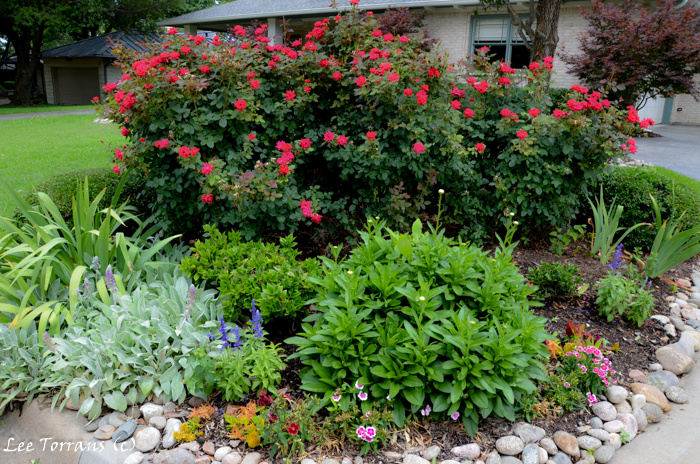 Landscaping with shrub roses in Dallas.