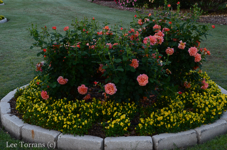 Dick Clark Grandiflora Rose Lee Ann Torrans Gardening