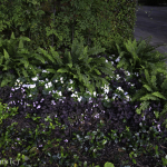 Wood Ferns and Purple Shamrock