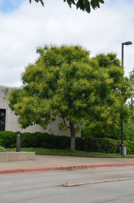Golden Rain Tree - Blooming Texas Tree - Mid-May