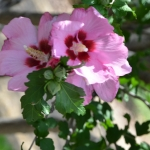 Hardy_Hibiscus_Shrub_Tree_Texas_Lee_Ann_Torrans-4