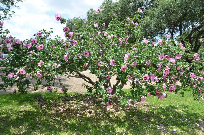 Texas lilac vitex tree lee ann torrans gardening for Hardy flowering trees