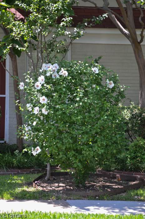 Hardy Hibiscus Shrub Dallas