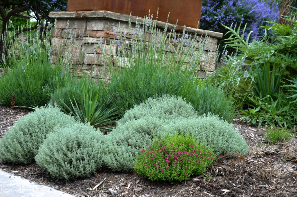 Santolina and native grasses in perennial garden
