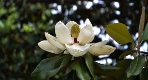 Magnolia Hedge Row