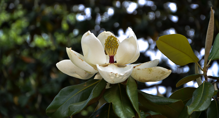 Magnolia Hedge Row