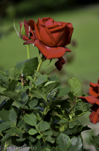 Mr. Lincoln Hybrid Tea Rose for Dallas Landscaping