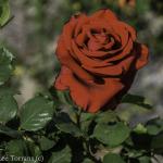 Mr. Lincoln Hybrid Tea Rose Dallas Landscaping