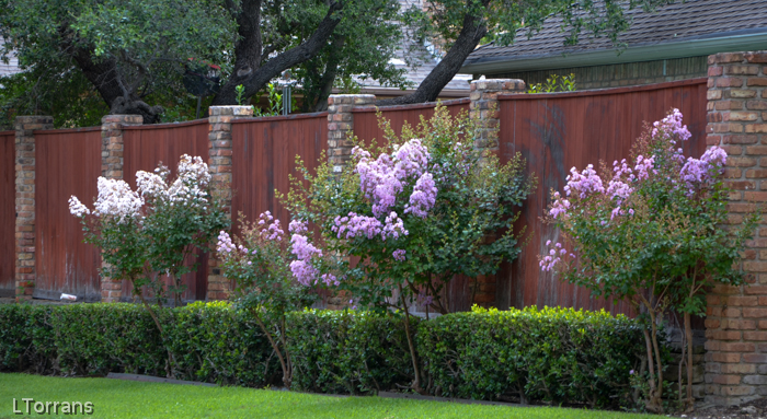 Young and immature Muskogee Crape Myrtle Lavender
