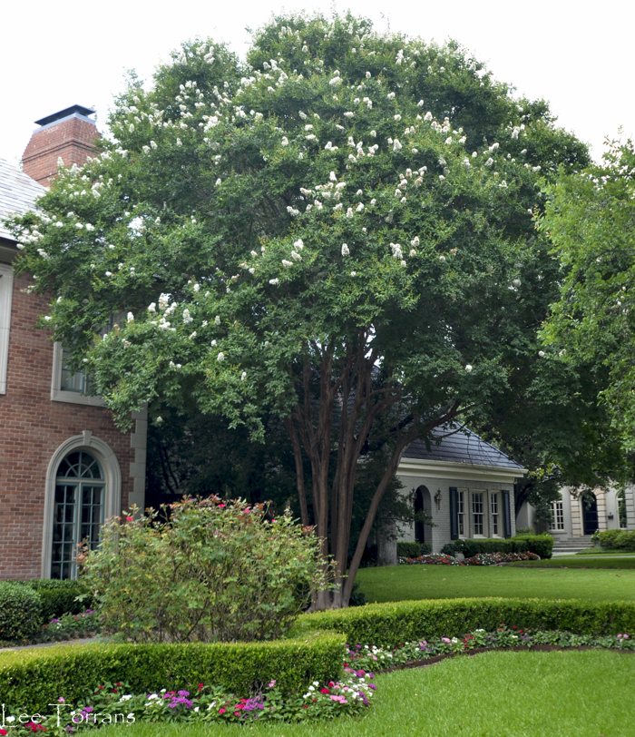 Fantasy White Crape Myrtle can reach forty or more feet.