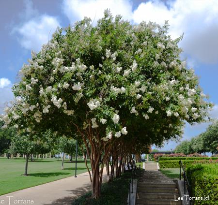 Natchez_White_Crape_Myrtle_Texas_Lee_Ann_Torrans_Dallas_Gardening-Slider