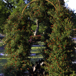 Dallas Landscaping Miniature Climbing Rose Lee Ann Torrans