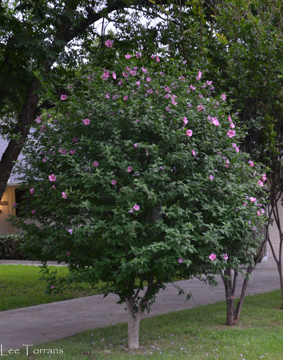 Rose of Sharon Althea Tree June Bloomer in Texas
