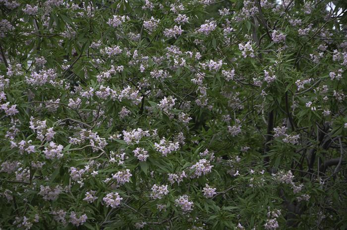 Small_Pink_Flowers_Tree_Texas_Lee_Ann_Torrans-2