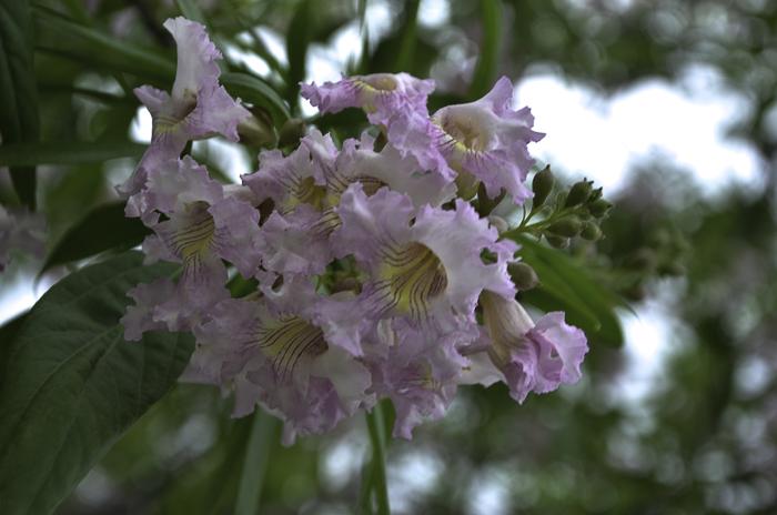 Small_Pink_Flowers_Tree_Texas_Lee_Ann_Torrans-3