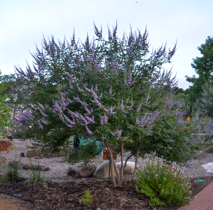 Texas Lilac Vitex Tree June Bloomer with Purple Flower Spikes in Texas
