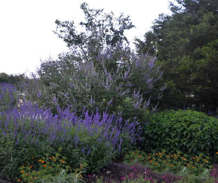 Vitex_Tree_Purple_Flower_Spikes_Texas_Lee_Ann_TOrrans-4