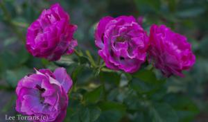 Wild Blue Yonder Rose for Texas